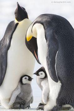 Photograph by Daisy Gilardini - Emperor penguin family - Snow Hill Island - Antarctica