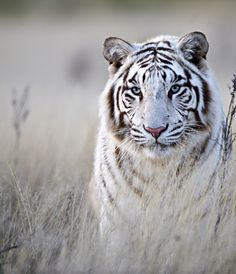 Tiger in White @VanessaHoussian