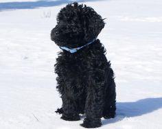 Black Labradoodle | Black labradoodle :)