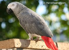 Unlike the Timneh African Grey, Congo African Greys seem to be more prone to feather picking