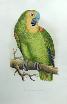 BLUE - FRONTED AMAZON Engraved by Benjamin Fawcett after A F Lydon Published London 1884 by George Bell Sons in Parrots in Captivity by W T Greene A