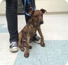 Elyria, OH - Boxer Mix. Meet Nate, a puppy for adoption. http://www.adoptapet.com/pet/15717844-elyria-ohio-boxer-mix