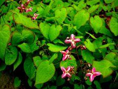 Epimedium x rubrum 'Sweetheart', semi-evergreen