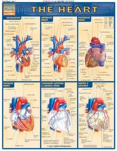 Heart (Quickstudy: Academic) by Inc. BarCharts, http://www.amazon.com/dp/1572225378/ref=cm_sw_r_pi_dp_m5Jfub0P6N3EE