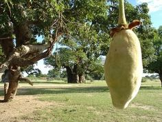 Baobab has six times more vitamin C than an orange, twice as much calcium as a glass of milk and more iron than a steak. A new superfood from Africa is taking Britain by storm with sales of baobab … Fruit Facts, Baobab Powder, Milk And More, Body Cells, Fresh Fruits And Vegetables, Superfoods, Health Benefits, New Recipes, Nutrition