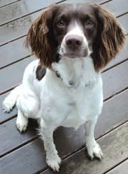 Murphy is an adoptable English Springer Spaniel Dog in Post Falls, ID. Please note: Our Springers must reside primarily inside with the owners. The reason we require dogs to live inside with the owner...