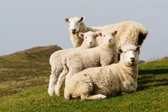 Sheep Family Portrait by Cameron Zegers on 500px