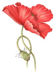 poppy watercolor | Last Updated Jun 21, 2012