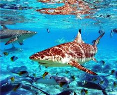 Sharks and manta rays in the waters of #BoraBora http://on.fb.me/ShXNer