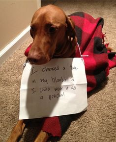 Archive for December 2012 | Page 3 | Dogshaming One of my Viszla babies does the exact same thing. He loves his blankie.