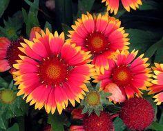 LOW MAINTENANCE LANDSCAPING PLANTs - Gaillardia aristata Bijou: Height 0.75 to 1 feet ; Bloom Time May - Sept; Full sun; Flowers Showy