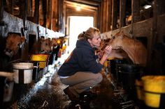 Karen Bianchi-Moreda with her 2-week-old Jersey calfs at Valley Ford Cheese Co. in Valley Ford, California. October 10, 2011. Photo: Erik Castro, Special To The Chronicle