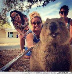 24376 - El selfie más peludo: #QuokkaSelfie