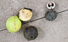 Black walnuts in various ripeness. How to hull and crack black walnuts.
