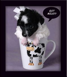 About teacup poodles on pinterest teacup poodles teacup poodle
