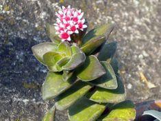 crassula cv. bride's bouquet
