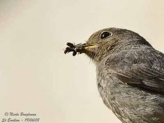 Bio diverse green roofs create the perfect habitat for Black Redstarts to feed.