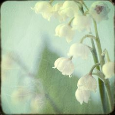 Lily of the Valley Photograph Soft Focus Flower by JudyStalus