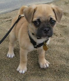 "My holly sue as a baby awwww ""Chug"" chihuahua/pug mix . they grow up to be just as cute. Like having a permanent puppy. Pug Love, I Love Dogs, Cute Dogs, Baby Animals, Funny Animals, Cute Animals, Pug Puppies, Chihuahuas, Beagles"