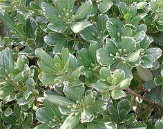Pittosporum tobira 'Variegata' - Large varigated structure shrub