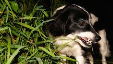 Are you worried about your dog eating grass, the read on as we discuss the reasons why dogs eat grass and if you should be worried. Dogs Eating Grass, Dog Eating, Can Dogs Eat, I Love Dogs, Dog Barking At Night, Les Croquettes, Dog Information, Pelo Natural, Wild Dogs