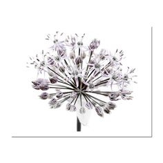 Botanical Flower Photography Allium Purple by GalleryZooArt