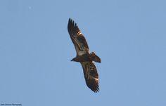 Juvenile Bald Eagle, hunting over Maple Beach.