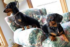 Reunited with my bro, Oakley! Dachshunds, Doggies, Crusoe The Celebrity Dachshund, Sausage Dogs, Weiner Dogs, Bro, Oakley, Cute Animals, Puppies