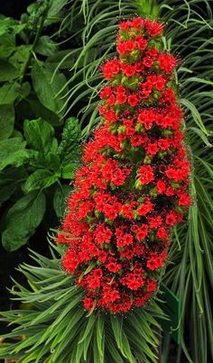 Tower-of-Jewels Plant in Bloom: Echium