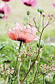 nat95435 Close up of pink poppy