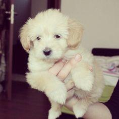 Puppy Bichon Maltese