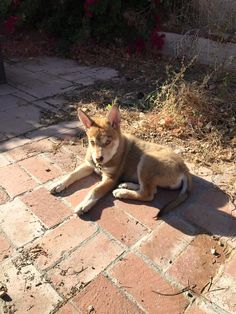 Help me please is this a Husky mix or a wolf mix I want to make sure. The adoption said Husky-Shepard but he looks kinds of wolfy but I love the fucker to death. However if wolf then I want to make certain that specific precautions are taken.