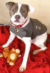 Buzz: Pit Bull Terrier, Dog; Linden, NJ