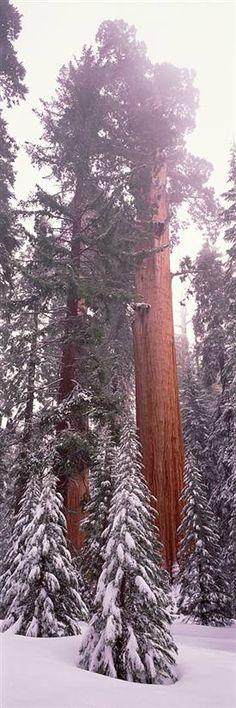 Giant Sequoia Sequoia National Park