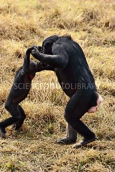 A wonderful picture - Bonobo female playing with infant, Congo