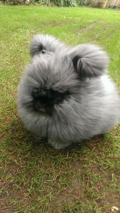 Black English Angora Rabbit.