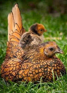 This is a Wyandotte hen with chick. This breed comes in many color combinations - this being one of the most gorgeous.