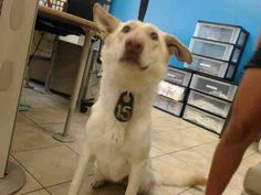 7/25/17 - A CREAM-COLORED GERMAN SHEPHERD, FEMALE, GENTLE PERSONALITY, WILL BE KILLED - AVAILABLE AT HARRIS ANIMAL SHELTER, HOUSTON TEXAS - PLEASE HURRY!