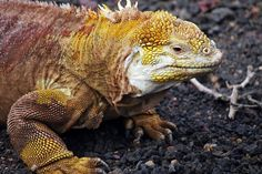 A land Iguana in yellow and red. Galapagos Islands