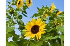 How to Grow Sunflowers in Florida (7 Steps) | eHow