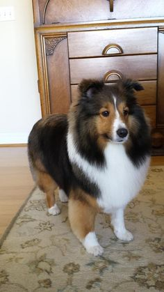 The Shetland Sheepdog originated in the and its ancestors were from Scotland, which worked as herding dogs. These early dogs were fairly Shetland Sheepdog Puppies, Yorkshire Terrier Puppies, Rough Collie, Collie Dog, Cute Puppies, Dogs And Puppies, Baby Animals, Cute Animals, Pet Dogs