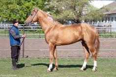 Don - stallion Волгодонск 205 (Volgodonsk 205)