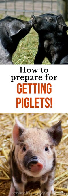 MUST-DO preparations to make before getting piglets! #homestead #homesteading #pigs #piglets #selfsufficiency #farmlife