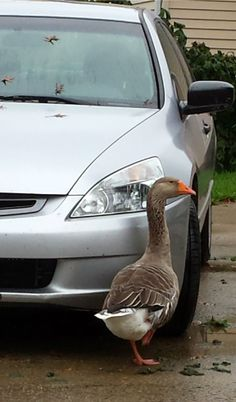 Goose and Honda: A Love Story  I love my Honda Accord the way anyone might love a car. ... But not the way Louise loves my car. Her love is notable for its dedication. Louise won't leave the side (or the front) of my car from sunup to sundown.  Louise, I should point out, is a goose. A Toulouse goose.
