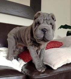 blue shar pei puppy named perry wrinkle. 3 months old.