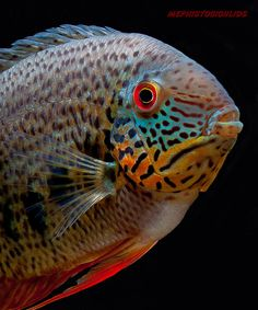Heros Notatus A type of wild Severum Also a Dream fish of mine. I had a baby a long time ago.
