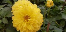 Ντάλια: δίνει χρώμα σε γλάστρες, παρτέρια & ανθοδέσμες Plants, Plant, Planets