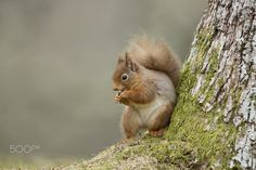 Full frame capture of a wild Red Squirrel (Sciurus vulgaris) taken near Aviemore in the Scottish Highlands.