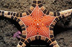 Alor Is. (Timor) - Indonesia. A Sea Star, Iconaster longimanus  This starfish is quite the looker! It has so many different beautiful colors and it is very exotic looking. There are many different starfish species. You will find most of them hanging out in shallow warm water, close to sunlight