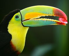 Aww toucan eating strawberry well I think that's a straw berry